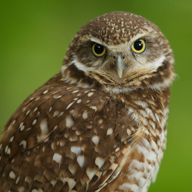 Burrowing Owl Ra